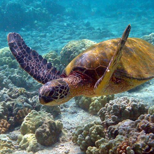 Gleitschirmreise La Reunion Schildkröte